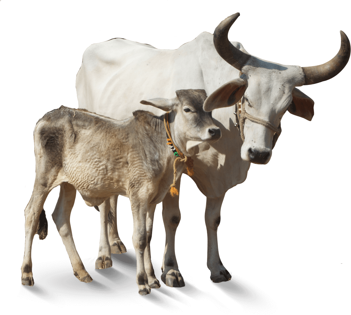 PikPng.com_indian-cow-png_208675.png